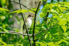 05162019-326-2 (Bill Friggle Photography) Tags: 200500 d600 middlecreek nikon bird flycatcher alder