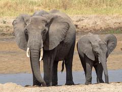 Elephants, Tarangire, Tanzania (Amdelsur) Tags: eléphantdesavane tanzanie taranguire continentsetpays afrique africa africanbushelephant elefante loxodontaafricana tz tza tanzania tembo régiondarusha