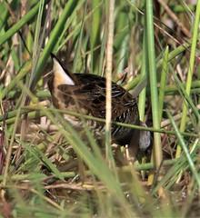 Sora (Porzana carolina) 03-12-2019 Medio Queso wetland, Alajuela Province, CR 4 (Birder20714) Tags: birds costa rica rails rallidae porzana carolina