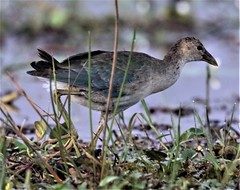 Purple Gallinule (Porphyrio martinica) 03-12-2019 Medio Queso wetland, Alajuela Province, CR 4 (Birder20714) Tags: birds costa rica rails rallidae porphyrio martinica