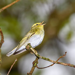 Wood Warbler (Phylloscopus sibilatrix), singing male thumbnail