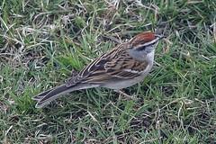 Chipping Sparrow In Front Yard 007 - Spizella Passerina (Chrisser) Tags: birds bird sparrows sparrow chippingsparrows chippingsparrow spizellapasserina nature ontario canada canoneosrebelt6i canonef75300mmf456iiiusmlens passerellidae