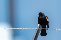 82897 - Carouge à Épaulettes - Red-Winged Blackbird (xVanHovenx) Tags: carouge blackbird carougeàépaulettes redwingedblackbird animal oiseau bird sonya7iii sigmamc11 sigma150600mmcontemporary
