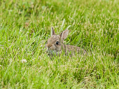 Baby Bunny (Bob Gilley) Tags: baby bunny rabbit