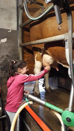 Kühe melken bei Verena und Tom