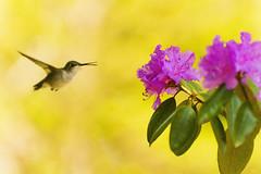 Hummingbird (Sandeep_Nigam) Tags: hummingbird