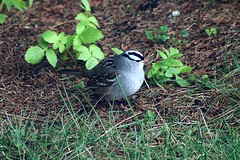 White-Crowned Sparrow In Backyard 001 - Zonotrichia Leucophrys (Chrisser) Tags: birds bird sparrows sparrow whitecrownedsparrows whitecrownedsparrow zonotrichialeucophrys nature ontario canada canoneosrebelt6i canonef75300mmf456iiiusmlens passerellidae