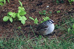 White-Crowned Sparrow In Backyard 002 - Zonotrichia Leucophrys (Chrisser) Tags: birds bird sparrows sparrow whitecrownedsparrows whitecrownedsparrow zonotrichialeucophrys nature ontario canada canoneosrebelt6i canonef75300mmf456iiiusmlens passerellidae