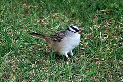 White-Crowned Sparrow In Backyard 008 - Zonotrichia Leucophrys (Chrisser) Tags: birds bird sparrows sparrow whitecrownedsparrows whitecrownedsparrow zonotrichialeucophrys nature ontario canada canoneosrebelt6i canonef75300mmf456iiiusmlens passerellidae