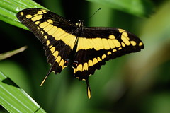 GIANT SWALLOWTAIL (concep1941) Tags: butterflies insects wingsofthetropics openwoods
