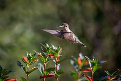 140A8922 (Ricky Floyd) Tags: hummingbird canon