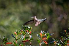 140A8920 (Ricky Floyd) Tags: hummingbird canon