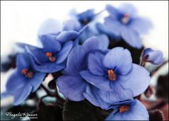 "HSoS - ""Blue for You - ME 2019"" (angelakanner) Tags: canon70d lensbaby velvet56 africanviolet blue blueforyoume2019 smileonsaturday manualfocus closeup houseplant"