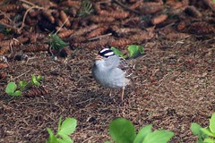 White-Crowned Sparrow In Backyard 009 - Zonotrichia Leucophrys (Chrisser) Tags: birds bird sparrows sparrow whitecrownedsparrows whitecrownedsparrow zonotrichialeucophrys nature ontario canada canoneosrebelt6i canonef75300mmf456iiiusmlens passerellidae