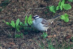 White-Crowned Sparrow In Backyard 010 - Zonotrichia Leucophrys (Chrisser) Tags: birds bird sparrows sparrow whitecrownedsparrows whitecrownedsparrow zonotrichialeucophrys nature ontario canada canoneosrebelt6i canonef75300mmf456iiiusmlens passerellidae