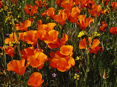 DSC07476 (Hiker Bob) Tags: 20190403 antelopevalleycaliforniapoppyreserve californiapoppyeschscholziacalifornica fiddleneckamsinckiasp superbloom