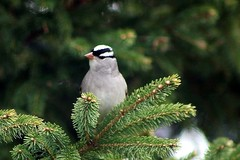 White-Crowned Sparrow On Spruce Branch In Backyard 001 - Zonotrichia Leucophrys (Chrisser) Tags: birds bird sparrows sparrow whitecrownedsparrows whitecrownedsparrow zonotrichialeucophrys nature ontario canada canoneosrebelt6i canonef75300mmf456iiiusmlens passerellidae