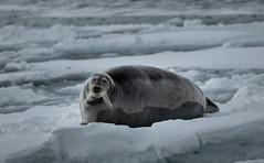 Curious (MrBlackSun) Tags: svalbard spitsbergen bearded seal beardedseal nikon d850 landscape nature naturephotography landscapephotography