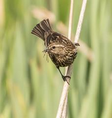 Red-winged Blackbird-7657 (Geoffrey Shuen Photography) Tags: amblesidepark redwingedblackbird blackbird bird