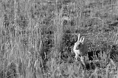 Sensing (l i v e l t r a) Tags: sunlight ngc rabbit wild senses sensing aware listen nature monochrome bw cautious df f2 58mmf14g