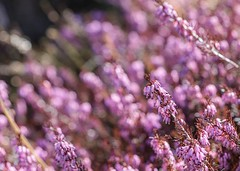 Heather (Karen_Chappell) Tags: pink flowers flower floral nature macro heath heather bokeh canonef100mmf28usmmacro botanicalgarden stjohns spring pastel canada atlanticcanada avalonpeninsula eastcoast garden