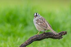 White-crowned sparrow (Joe Branco) Tags: macro lightroom photoshop nature wildlifephotographer nikond850 birds bird branco joe joebrancophotographer whitecrownedsparrow green