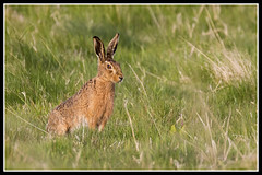 IMG_0149 Brown Hare (Scotchjohnnie) Tags: brownhare europeanhare hare lepus lepuseuropeans leporidae mammal wildlife wildlifephotography wildanimal wildandfree nature naturephotography canon canoneos canon7dmkii canonef100400f4556lisiiusm canonef70200mmf28lisiiusm scotchjohnnie portrait