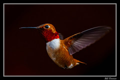 Rufous Hummingbird Framed-102 (billthomas_steel) Tags: hummingbirds rufoushummingbird selasphorusrufus bird wildlife britishcolumbia canada canon eos7dmarkii canonef300mmf4lisusm