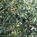 Koel (male)
