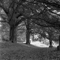 Tree Cover (4foot2) Tags: allsaintschurchwarlingham allsaintschurch warlingham church graveyard graves gravestone churchyard yew taxusbaccata taxus trees tree analogue film filmphotography 120film mediumformat hasselbladski bw blackandwhite monochrome mono ilford ilfordfp4plus fp4plus rodinal standdevelop kiev kiev88cm 88cm киев88cm ukrainiancamera carlzeissjenabiometar80mm28 carlzeissjena biometar80mm28 carl zeiss jena biometar 80mm 28 czj 2019 fourfoottwo 4foot2 4foot2flickr 4foot2photostream