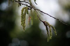 Rainy day (Petr Horak) Tags: rain pancolar czj carlzeisjenaddr carlzeissjena villow bokeh vintage nature detail droplet