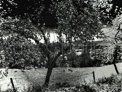 Cerezo pictoralista (Amy Charlize) Tags: amycharlize focosocial art blackandwhite catalonia catalunya cataluña fotografia photography cherrytree landscape monochrome nature old pictorialism pyrenees simple travel