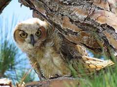 GHO5-5-2-19 (GaelSilverblatt) Tags: great horned owl
