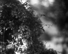 Aero clematis (Vidwatts) Tags: springflowers speedgraphic fomapan100 rodinal150