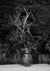 Death tree (Elvir72) Tags: tree beach nature landscape southcoast australia blackandwhite bw