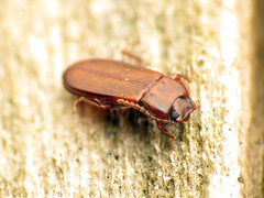 Orange Lacquer Beetle (treegrow) Tags: rockcreekpark washingtondc nature lifeonearth raynoxdcr250 arthropoda insect beetle coleoptera adelinapallida tenebrionidae