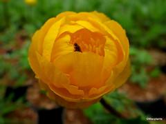 Trollius x cultorum 'Orange Globe'