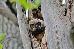 Great Horned Owlet (jcfbones) Tags: owl owls great horned