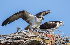 Pair of Osprey (edhendricks27) Tags: osprey bird fishhawk wildlife animal nature canon