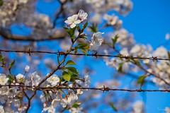 Cherry blossom (takapata) Tags: sony sel90m28g ilce7m2 macro nature flower cherry tree sakura smileonsaturday fancyfence