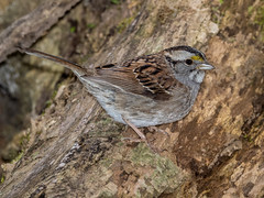 White-throated Sparrow (shooter1229) Tags: avian bird mageemarsh nature oh oakharbor outdoors springmigration whitethroatedsparrow