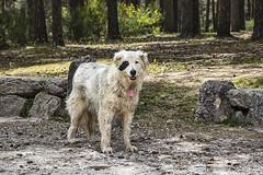 Perro pirata (lebeauserge.es) Tags: rascafría madrid sierra campo naturaleza perro