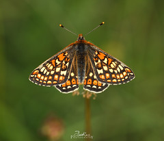 Marsh Frittilary - Euphydryas aurinia (....Daniel....) Tags: marsh frittilary euphydryas aurinia nikond810 macro coth5 nikkor outside naturephotography spring 2019 green ocre mariposas butterflies grassland red hazelbury common sigma150mm