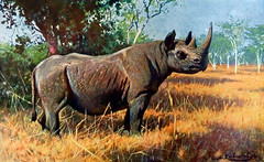 THE RHINO PROJECT - Southern White Rhinoceros in grassland THREATENED, original lithographic print Artist Wilhelm Kuhnert, from the Illustrated Natural History 1901 by Rev. J. G. Wood 1827-1889 originating from BREHMS TIERLEBEN 1893 (karadogansabri) Tags: the rhino project southern white rhinoceros critically endangered original antique master engraving wood block print from illustrated natural history by rev j g kroonegallery henry wolf 1901 grassland tierleben brehms threatened friedrich wilhelm kuhnert