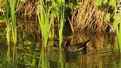 Moorhen, 14052019, 04 (alanblunden) Tags: wildbird riverwitham bird alongtheriver wildlife grantham wild spring wildfowl moorhen granthamsriversidewalkcycleway river uk may fowl spring2019 may2019