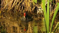 Moorhen, 14052019, 01 (alanblunden) Tags: wildbird riverwitham bird alongtheriver wildlife grantham wild spring wildfowl moorhen granthamsriversidewalkcycleway river uk may fowl spring2019 may2019