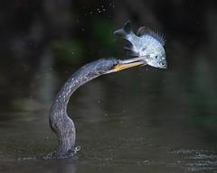 Deadly Darter (PeterBrannon) Tags: anhinga anhingaanhinga bird circlebbarreserve darter fish florida lakeland nature plecostomus snakebird wildlife bluegill