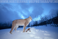 Eurasian Lynx (www.northernnaturephotography.no) Tags: lynx wildlife cat arctic norway animal mammal night blue long exposure