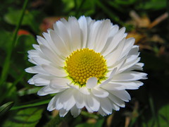 IMG_5733 5-17-2019 (PGK88) Tags: daisy flower white macro closeup bloom blooming blossom beautiful petals plant nature outdoors spring springtime 2019