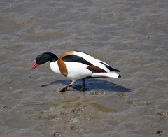 Shelduck (Gill Stafford) Tags: gillstafford gillys image photograph wales bird shelduck waterbird river estuary mud food